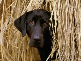 Black Lab in Hay Bale